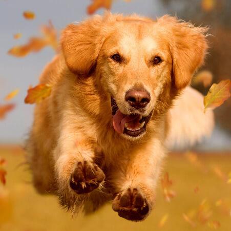Golden Retriever rennt voller Begeisterung beim Hundetraining in Kernen.