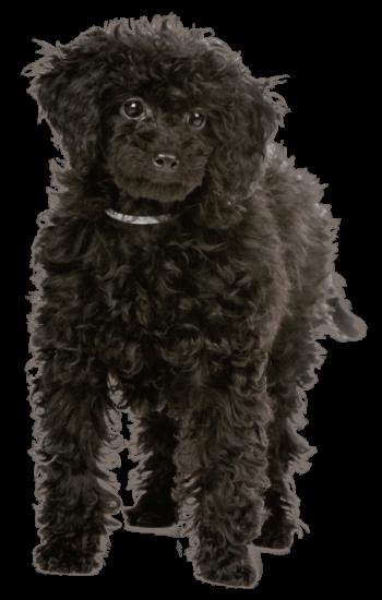 Pudel Welpe wird zum Signalhund ausgebildet und schaut freundlich nach vorne.