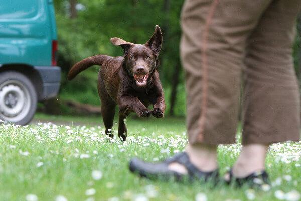 Ein Labrador kommt beim Rückruf zu seiner Besitzerin gerannt. Im Hintergrund fährt ein Auto vorbei.