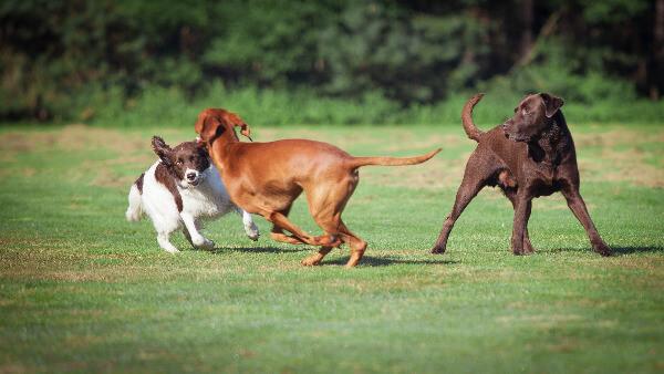 Drei junge Hunde spielen auf einer Wiese.